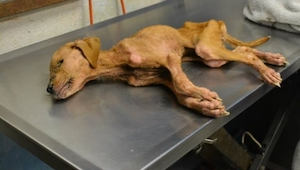 Perhe pelasti tämän koiran, mutta he eivät odottaneet tämän teon maksavan itseää