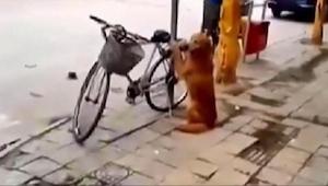 Koira vartioi omistajansa pyörää. Odotahan kun näet mitä tapahtuu 45 sekunnin ko