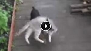 Nainen pyysi koiraa hakemaan kissan sisään. Tulos? Huvittava!