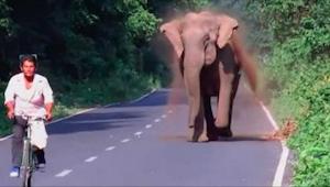 Elefantti hätyyttelee pyöräilijää, mutta odotahan kunnes näet miksi - mahtavaa!