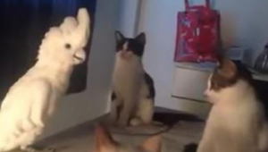 Papukaija luulee olevansa kissa, ja kissat eivät tiedä mitä ajatella tästä...hau