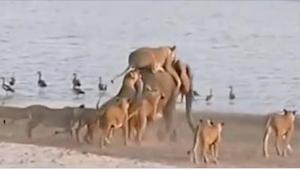 14 leijonaa hyökkäsi 6000-kiloisen eläimen kimppuun. Kun se pakenee veteen, tapa