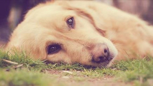 Huomio koiranomistajat! Uusi tapa myrkyttää nelijalkaisia on tappanut jo neljä l