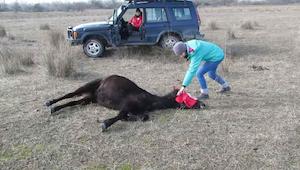 Mies vapauttaa vangitun hevosen. Eläimen reaktio on valloittanut internetin käyt