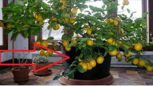 Kun näin ystävän kodissa sitruunapuun, halusin sellaisen heti itsekin. Se on eri