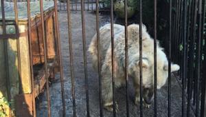 Karhu eli 30 vuotta häkissä. Sen reaktio päästyään takaisin vapauteen sai minut
