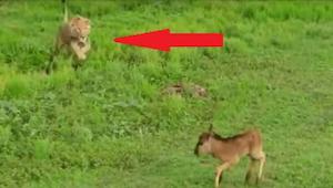 Leijona lähestyy pelokasta vasaa...tämä video sai asiantuntijat äimistymään!