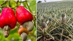 Haluatko tietää, kuinka ananakset, parsa tai kiivi kasvavat? Mielenkiintoista!