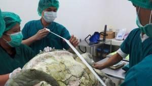 Kilpikonna operoitiin eläinten hätäkeskuksessa. Se mitä siltä löydettiin, hämmäs