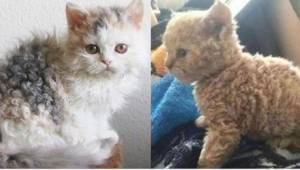 """""""Puudelikissasta"""" tuli internet-ilmiö! Oletko koskaan nähnyt tällaista kissaa?"""