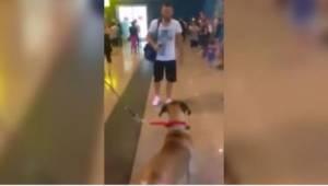 Koira odotti lentokentällä omistajaansa. Sen reaktio tutut kasvot nähdessään sai