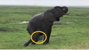 Elefantti alkoi synnyttää, jonkin ajan kuluttua muut elefantit tekivät sille jot
