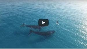 Katso mitä tapahtuu kun kaksi valasta näkee meressä uivan ihmisen… Vau!