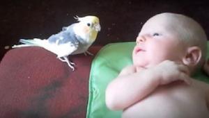 Vanhemmat pelkäsivät papukaijansa ja vauvansa ensikohtaamista. Katso mitä tapaht