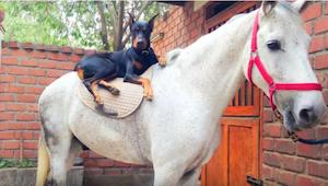 Tämä hevonen ja dobermanni ovat parhaita kavereita – tämä on nähtävä!