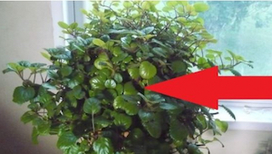 Tämän kasvin ansiosta henki kulkee taas paremmin! Ehkä sinulla on se jo kotona?