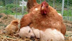 Yhdeksän kuvaa, jotka osoittavat, että kanat ovat eläinkunnan parhaita äitejä