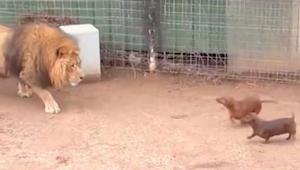 Leijona hiipii kulkureitilleen osuneiden mäyräkoirien luo. Tämä video on hämmäst