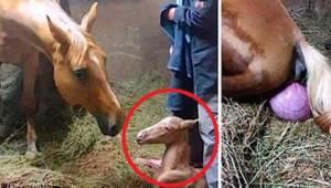 He juoksivat talleille auttaakseen hevosta varsomaan. Näky hämmästytti heidät!