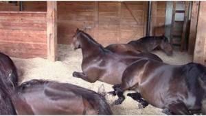 Hevoset olivat syöneet itsensä kylläisiksi ja ottivat nokoset. Omistaja ei ajate