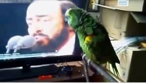 Papukaija ja hänen idolinsa, Pavarotti...tällaista duettoa et ole vielä kuullut!