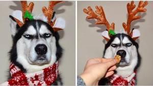 6 kuvaa koirasta, joka ei todellakaan piittaa joulusta... tästä huskystä on tull