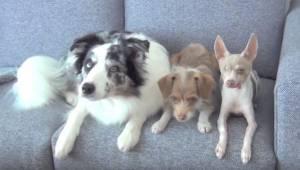 Kolme koiraa istuu sohvalla, katso huolella mitä ne tekevät seuraavaksi.