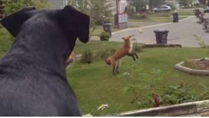 Kateellinen koira katsoo kettua, joka leikkii pihassa sen lelulla. Reaktio on pa