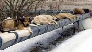 Venäjällä, sen sijaan että panostettaisiin eläinten turvakoteihin ja kulkueläint